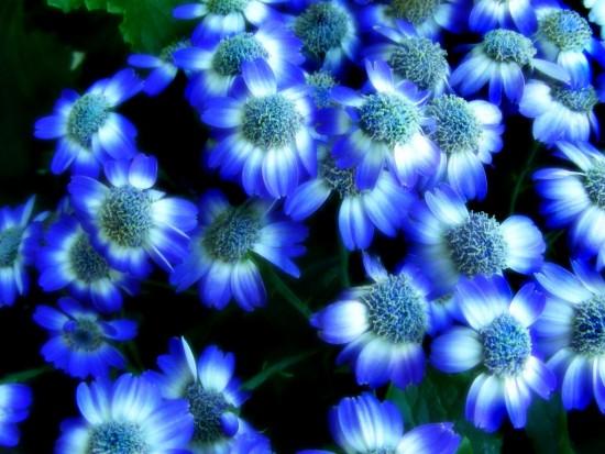 Flores-azules1-wallpaper-526168
