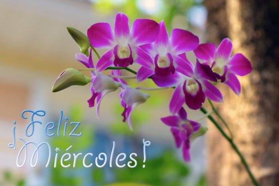 rosasflores-de-mi-jardin-orquideas-feliz-miercoles
