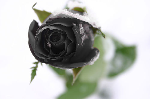 roses-images-6