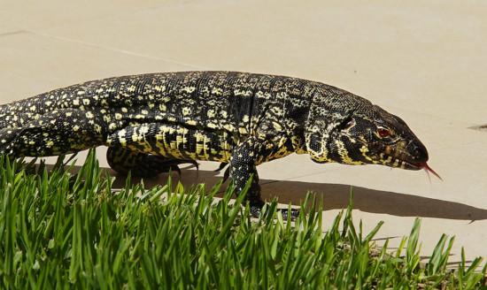 lagartoiIguana en el patio