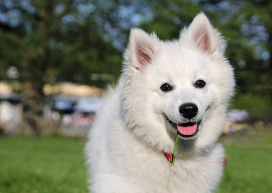 eskimo1.-Happy-american-eskimo-dog
