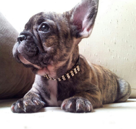 bulldog-frances-collar