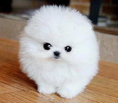 Mini Corgi Puppies For Sale >> Imágenes de perros y perritos bonitos muy tiernos