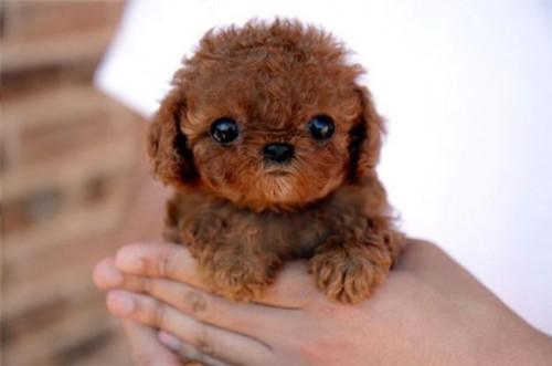 Los-perros-más-pequeños-del-mundo-12