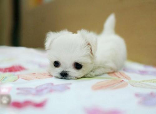 Los-perros-más-pequeños-del-mundo-6