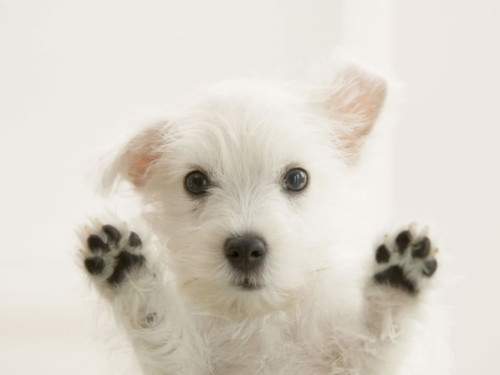 White_Terrier_Puppy